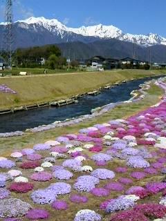 河川敷に芝桜を育てるのは並々ならぬご苦労があったようです